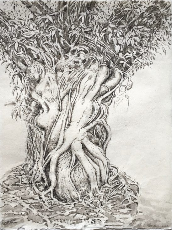 Ficus Virens Italian Culture centre New Delhi